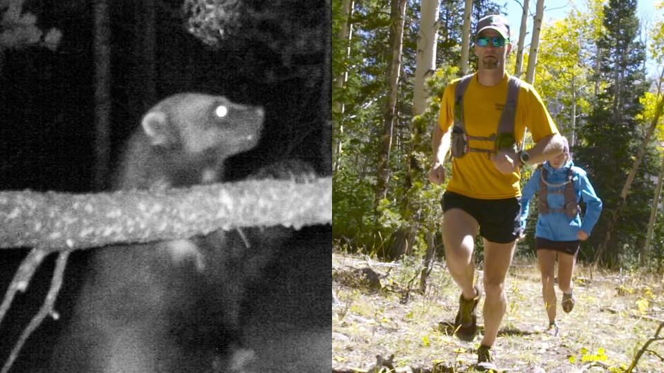 Chasing Wolverines With Help From Ultra-Runners